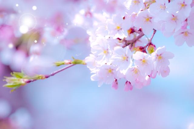 桜キラキラ