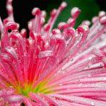 菊花ピンク